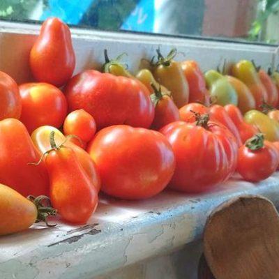 Tomatoes_windowsill_ChrisEnnis