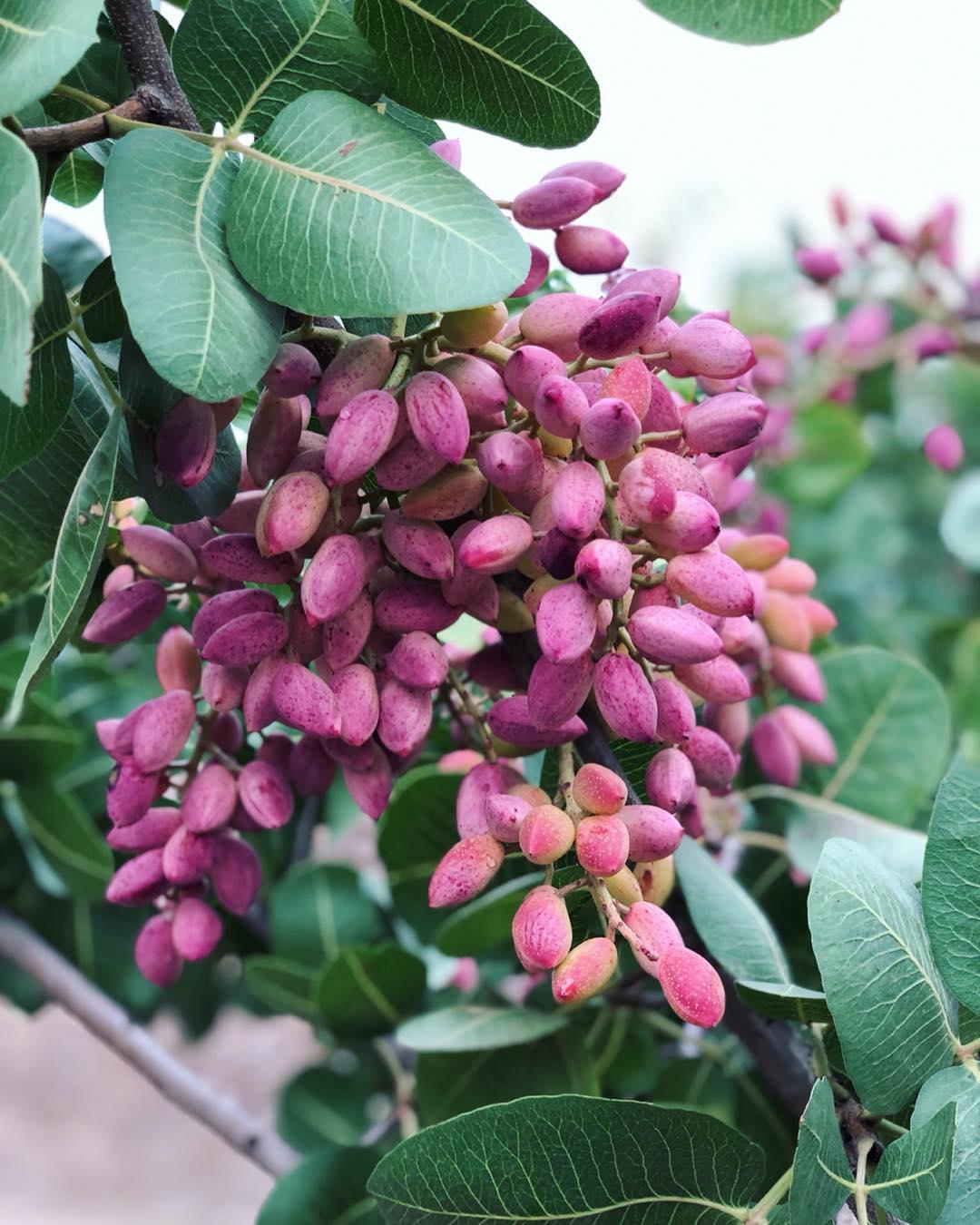 Pistachios tree Wahrina