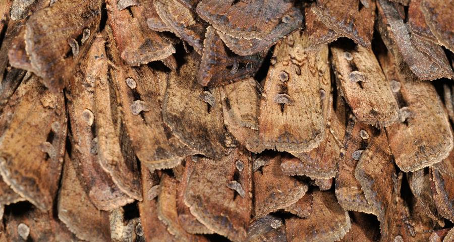 bogong moth