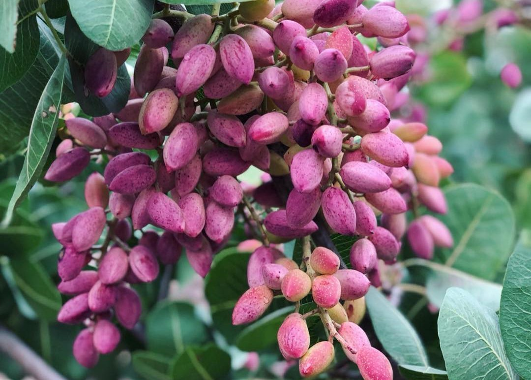 Fresh pistachios – a rare treat indeed