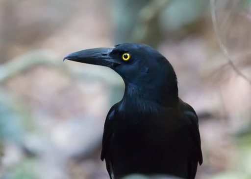 Lessons in Currawong